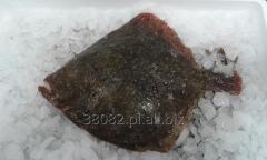 Turbot (Psetta maxima)