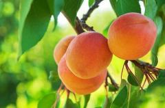 Sadzonki moreli  w odmianie  Early Orange na podkładce ałycza