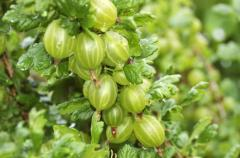Gooseberry White / Green. Grafted in Hand / Form