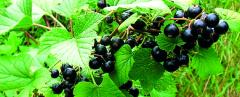 Black currant / Form Shrubby / Different varieties