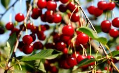 TREES, FRUIT TREES PLANTS CHERRY / CHERRY !!!