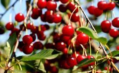 TREES, FRUIT TREES PLANTS CHERRY / CHERRY !!!