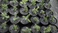 Seedlings of coniferous trees