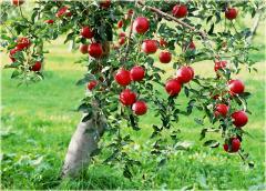 Świeże jabłka odmiany jonagored, ładnie zarumienione, kalibrowanie na życzenie klienta.