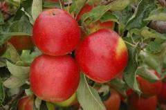 Sprzedam jabłka w odmianie jonagold, świeże, soczyste, dostępne w ilościach hurtowych, możliwość kalibracji i pakowania na zamówienie klienta.