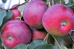 Jabłka Paulared świeże sprzedam w ilościach hurtowych, możliwość kalibrowania i pakowania na zamówienie.