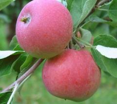 Jabłka w odmianie Genewa / Early Geneva, ilości hurtowe, możliwość pakowania i kalibrowania zgodnie z zamówieniem klienta.