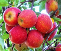 Świeże jabłka odmiany Gala, sprzedam ilości hurtowe, cało samochodowe, kalibrowane, pakowane.
