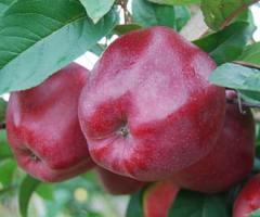 Gloster, producent, sprzedam hurtem świeże jabłka pakowane i kalibrowane na zamówienie.