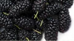 Mulberry saplings
