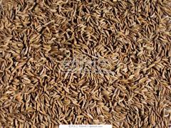Kminek w nasionach pakowany próżniowo na eksport