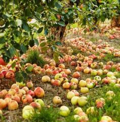 Hurtowe ilości jabłek przemysłowych we wszystkich odmianach, idealne do przetworzenia na musy, soki, żele, przeciery i inne.
