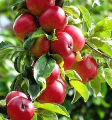 Jabłko Alwa o winno słodkim smaku, ładnie wybarwione, kalibrowane i pakowane pod klienta.