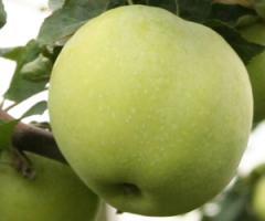 Jabłko antonówka to stara odmiana o kruchym i