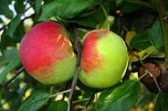 Jabłka Cortland, kalibrowanie i pakowanie na życzenie klienta.