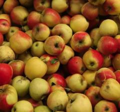 Odmiana jabłek Pinova, jabłka sprzedawane w ilościach hurtowych, moga być pakowane i kalibrowane pod zamówienie.