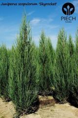 Jałowiec na żywopłot Juniperus scopulorum