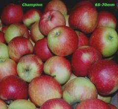 Jabłka Champion 70+mm