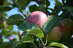 Świeże jabłka z certyfikatem żywności ekologicznej lub bez certyfikatu