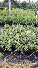 Sadzonki jagody kamczackiej (haskap)