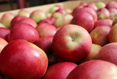 Soczyste i lekko kwaskowate jabłka Idared