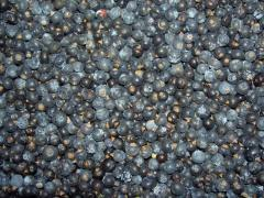 Jałowiec- owoc jałowca klasa I - Jagody jałowca (Juniperus communis / Juniperi fructus)