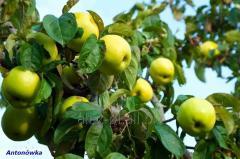 Jabłka świeże letnie 2018