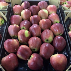 Polish apples of Gloster, only large quantities of