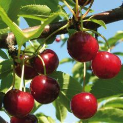 Cherry seedlings