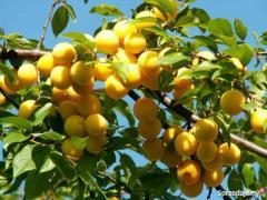Sadzonki Roślin Owocowych