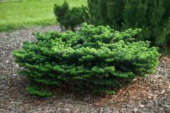 Abies balsamea `Nana` Jodła balsamiczna