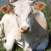 Pasze dla bydła