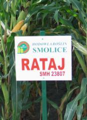 Kukurydza pastewna Rataj