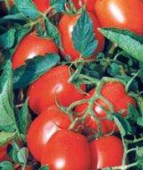 Pomidor Asterix