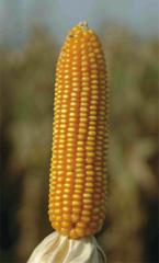 Nasina kukurydzy Adorno