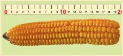 Kukurydza  ES Ballade FAO: 190-200