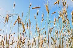 Skup i sprzedaż zbóż