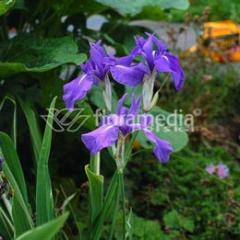 "Kosaciec ( Irys ) wodny ""Iris laevigata"""