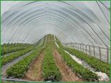 Series 4 tunnels for strawberries, raspberries,