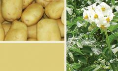 Sadzeniaki ziemniaka
