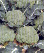 Brokuł mrożony kl.1 - kalibrowany