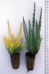 Plants for decorative hills and soil-covering