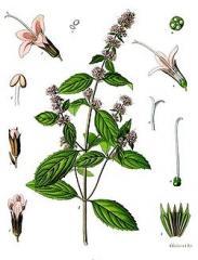 Mięta Pieprzowa (Mentha Piperata)