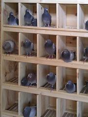 Gołębniki