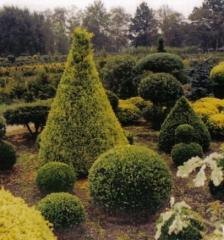 Sadzonka krzewów iglastych