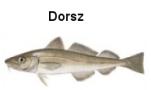Dorsz