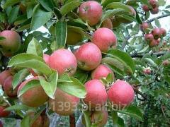 Jabłka Szampion, świeże, starannie selekcjonowane.