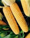 Nasiona kukurydzy cukrowej Złota Karłowa
