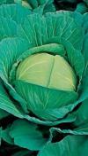 Hạt giống bắp cải trắng