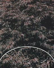 Klon palmowy Inaba-shidare